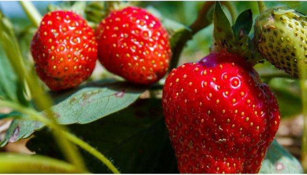 Травневі заморозки на 30% зменшили урожай ягід та фруктів - Мінагро