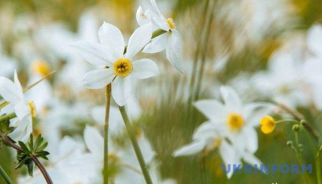 外喀尔巴阡山水仙花谷进入赏花期
