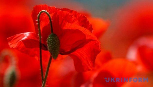 Червона казка: на Закарпатті розквітло макове поле