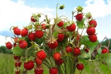 Ukraine breaks own pine strawberry export record
