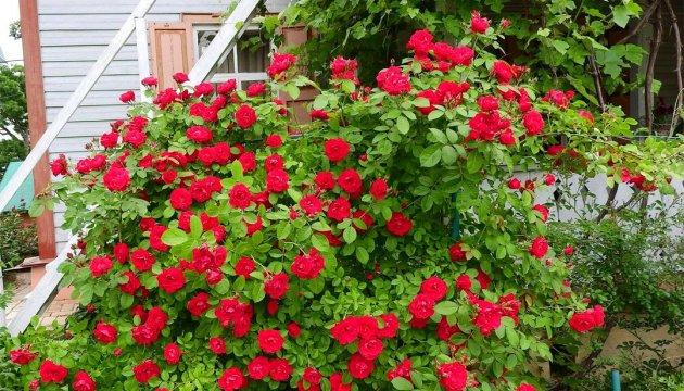 У Чернігові розквітли троянди у музейному саду Коцюбинського