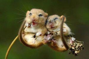 Мыши способны контролировать в мозгу «гормон удовольствия» - ученые