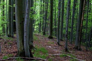 Буковые леса Карпат могут включить в список Всемирного наследия ЮНЕСКО