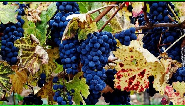 Un festival du vin et du raisin aura lieu à Lviv