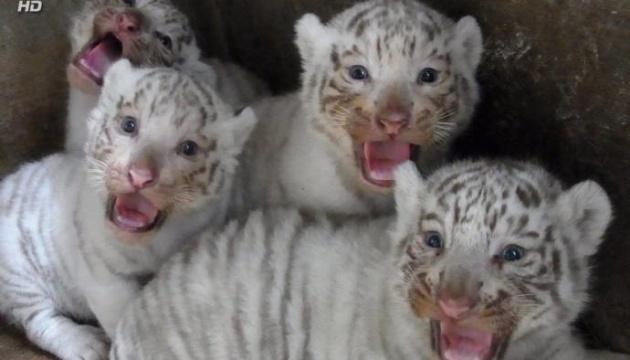 Nachwuchs des weißen Tigers im Safari-Zoo in Berdjansk