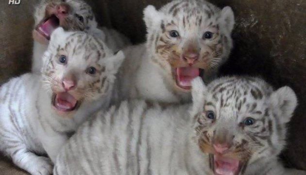 White tiger cubs born in Berdiansk private zoo. Video