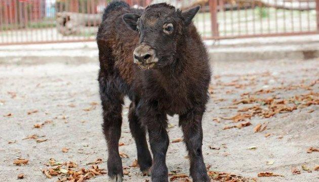 У Київському зоопарку народилося теля яків