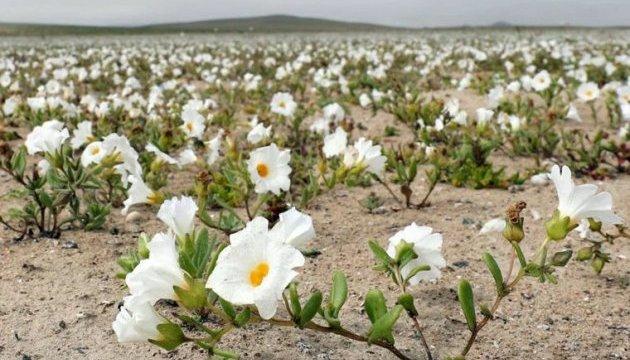 Розквітла найпосушливіша пустеля в світі
