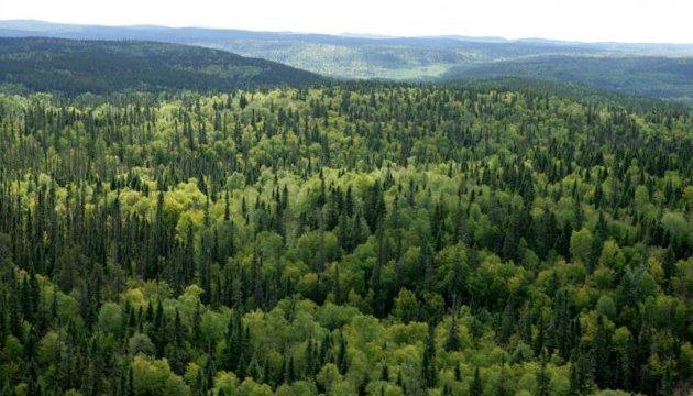 Короїд знищив на Сумщині уже 700 га хвойних лісів - ОДА