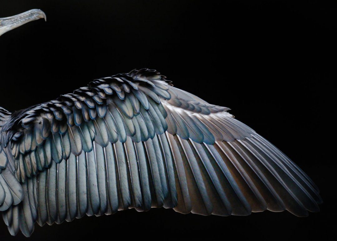 Cormorant wing by Tom Hines
