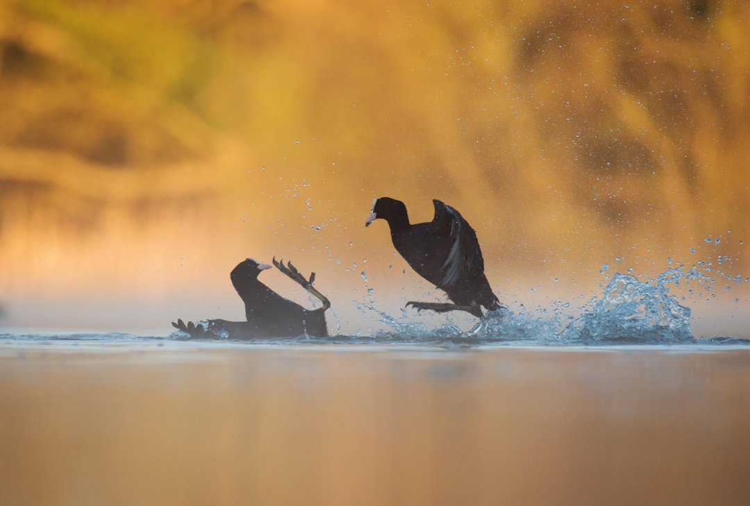 Fighting Coots by Andy Parkinson