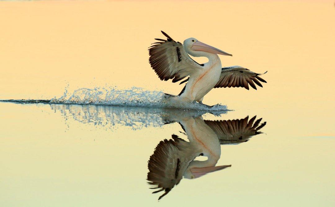Australian Pelican landing on water by Bret Charman