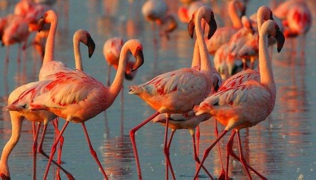 В Украинское государство впервый раз прилетели редкие розовые фламинго