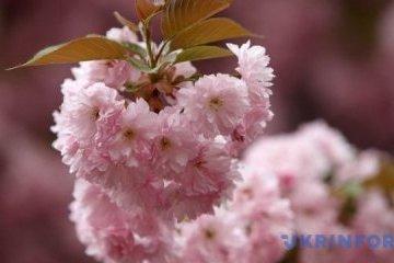 苏梅市现樱花夹道景观