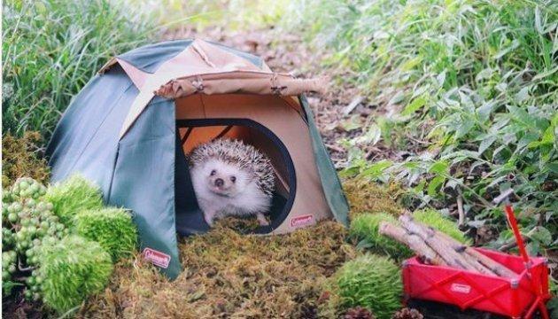 Le hérisson japonais montre comment il faut installer son camp (photos)