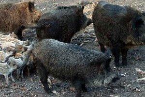 Жители Рима страдают от диких кабанов, бегающих по городу