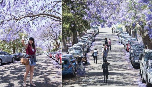Туристи, які роблять селфі з квітучою жакарандою, зупинили рух у Сіднеї