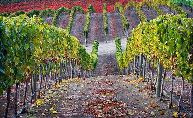 Виноградна плантація