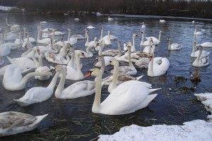 На Херсонщині загинули лебеді: тіла птахів відправили на експертизу
