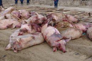 У Краматорську виявили африканську чуму свиней, введено карантин