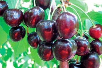 Cherry Festival to be held in Zaporizhzhia region