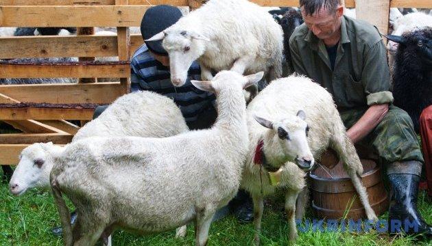 Вівчарі з діда-прадіда: об'єднатися, аби вижити