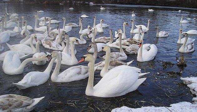 На Херсонщине погибли лебеди: тела птиц отправили на экспертизу