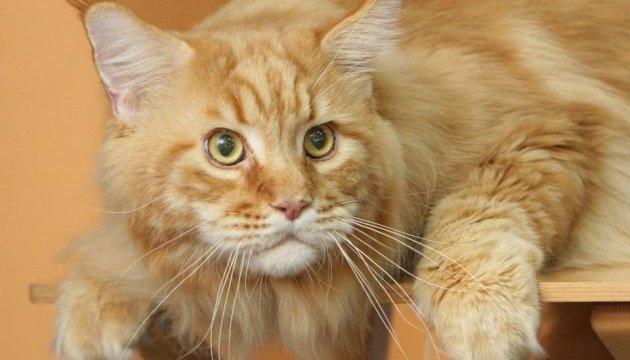 У Дніпрі показали найбільшого кота України