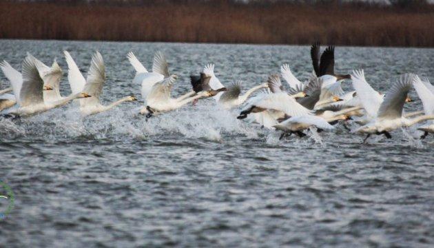 Картинки по запросу в одесскую области прилетели тундровые лебеди