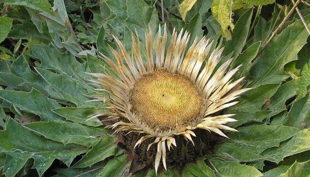 На Вінниччині з'явиться заказник для збереження квітки, що зникає