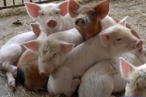 Африканская чума поразила свиноферму на Львовщине