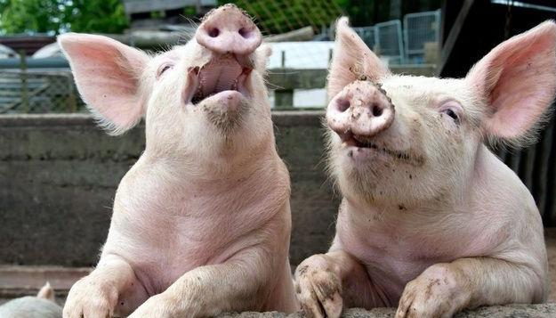 В Україні поголів'я свиней за рік поменшало більш як на півмільйона - експерти