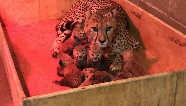 В зоопарке США гепард родила рекордное количество детенышей