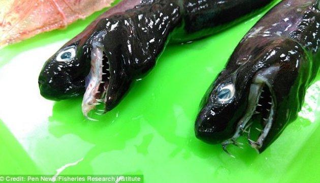 Редкую акулу-гадюку поймали в Тихом океане