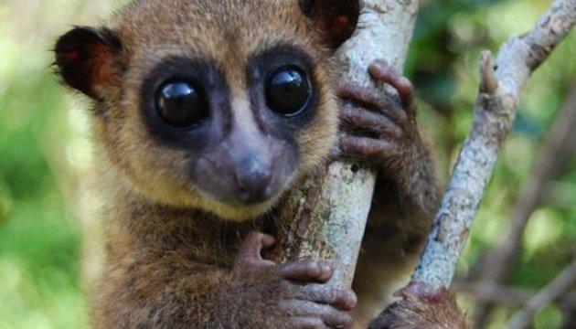 На Мадагаскарі знайшли новий вид карликових лемурів
