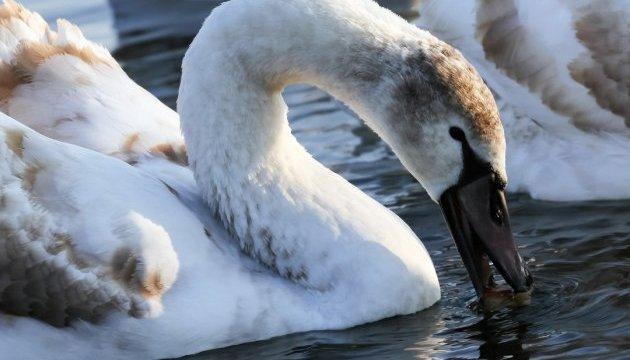 Лебеди возле Хмельницкой АЭС стали туристической