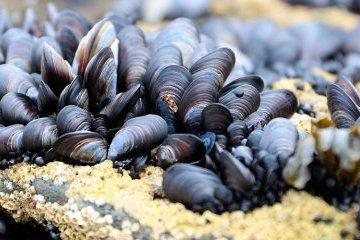 Las áreas del mar Negro serán cedidas en arrendamiento para el cultivo de mejillones