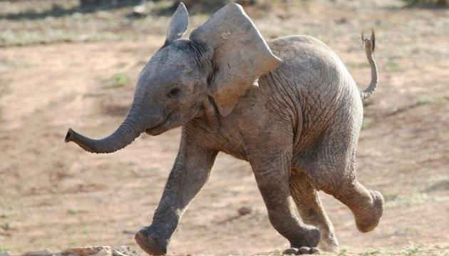 Слоненка не приняло родное стадо - и оно вернулось к опекуну. Трогательное видео