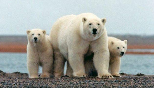 Нашествие белых медведей в России: агрессивные хищники гоняются за людьми на Новой Земле