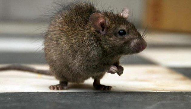После наводнения Парижу угрожает нашествие крыс