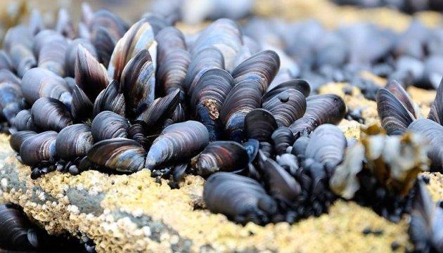 У Чорному морі з 1 червня забороняють вилов мідій та рапанів