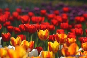 Нідерландський Кекенгоф покаже цвітіння тюльпанів онлайн