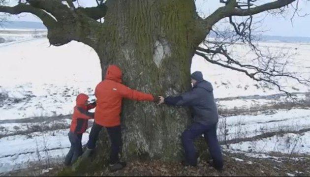 Волинь приваблює туристів дубами-велетнями