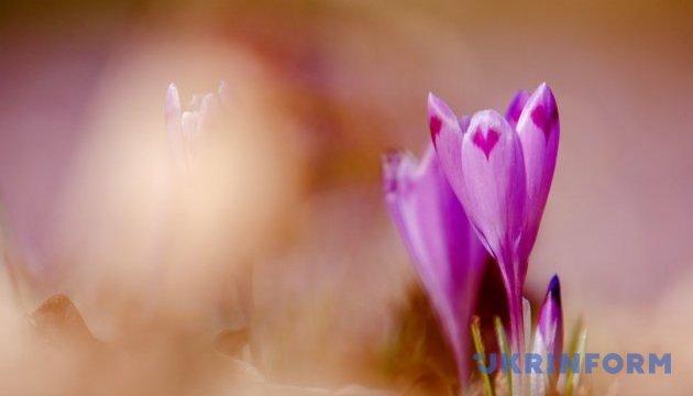 Бриндуші вкрили Закарпаття фіолетовим килимом