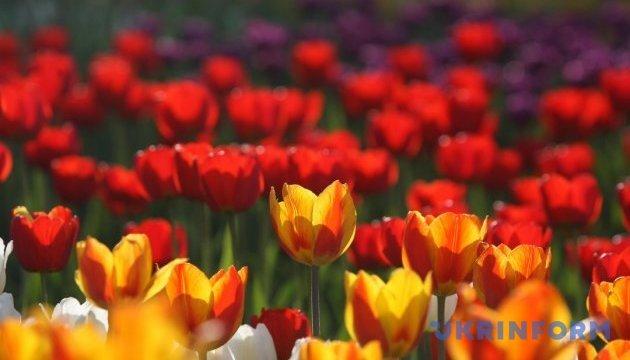 Нідерландські тюльпани відкривають весняний сезон