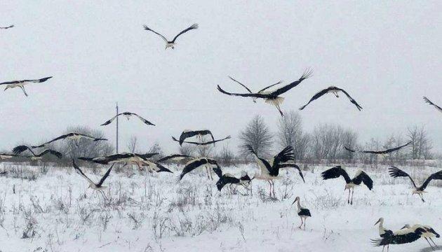 На Львівщині врятували від загибелі понад 50 лелек