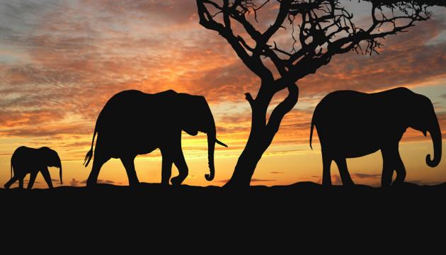 Через посуху у Зімбабве загинули 55 слонів