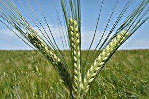 Украина увеличила экспорт ячменя