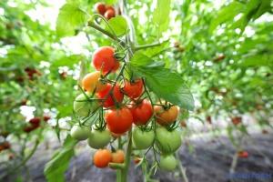 Ціни на українські помідори встановили новий рекорд
