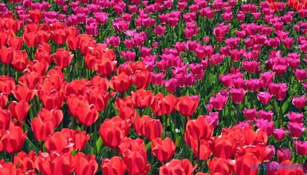 У Києві 25 квітня відкриється виставка тюльпанів